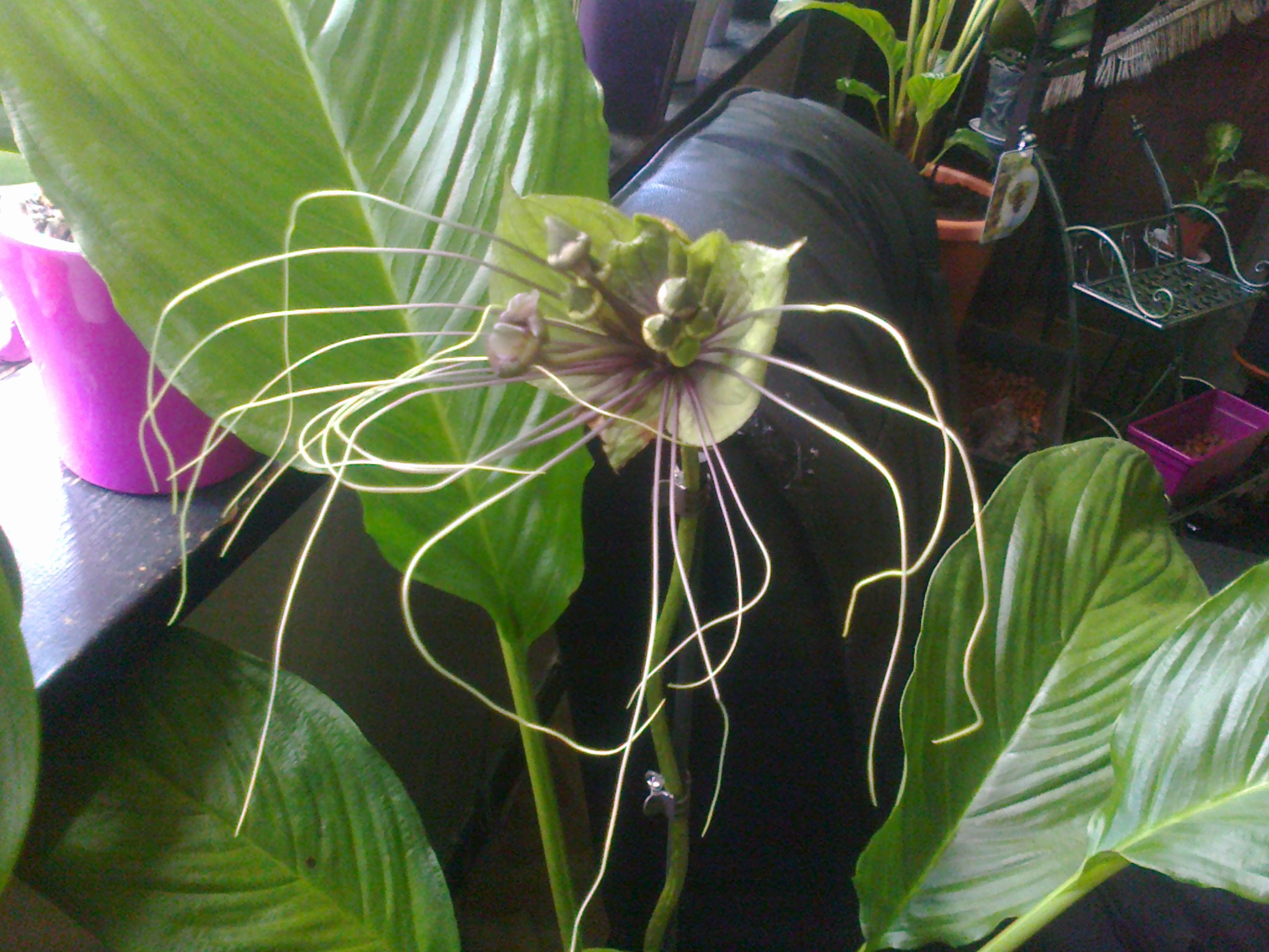 tacca green - Page 2 184816Photo0068