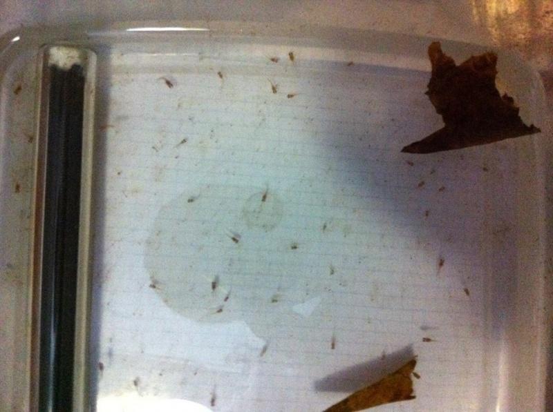 Reproduction: male black orchid HM geno DT x femelle black lace HMDT: DOUBLEE 1877412semaineset5jours3