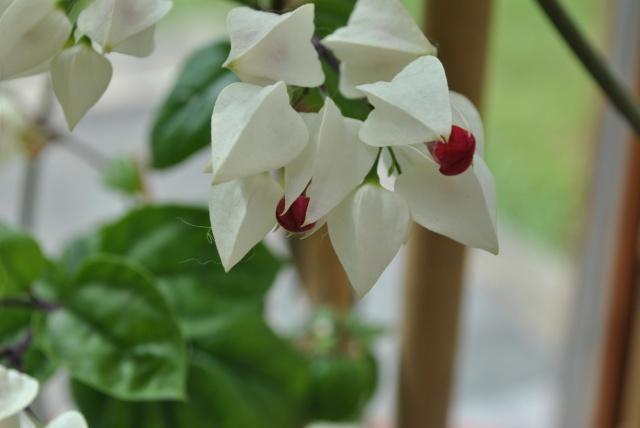 Mon clerodendrum en fleurs  188592DSC0710