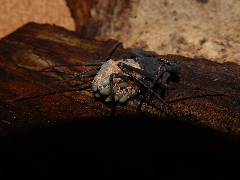 Amblypyges Stygophrynus sp de Sulawesi naissance du 16/07/2015. 191031RSCN1171
