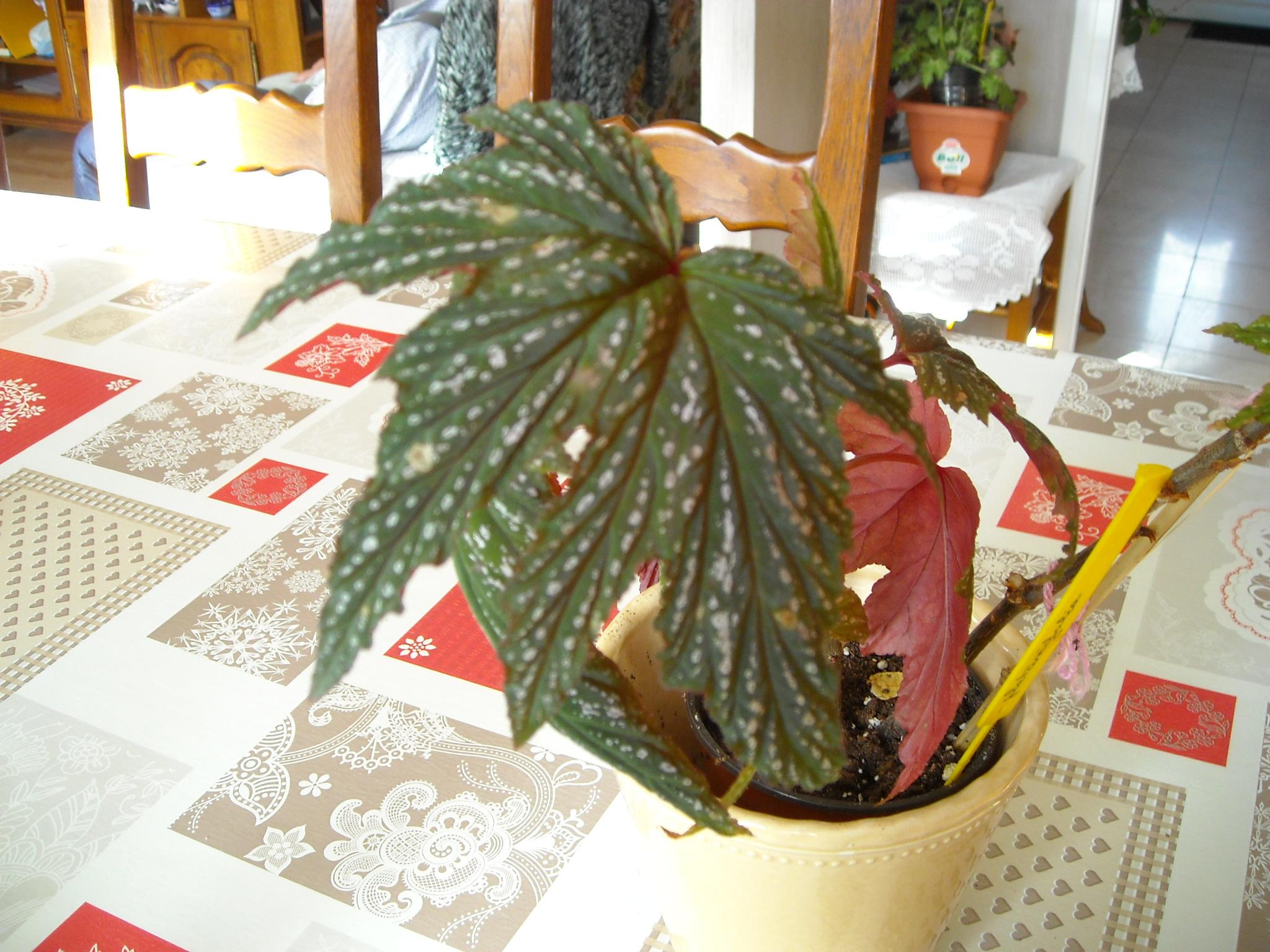 Bégonia platanifolia ou non ? 193594planatifolia001