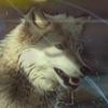 Les images des loups 201103imgcrocblanc