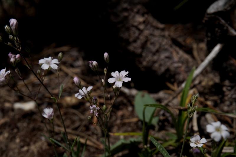 pas de carni mais de jolies plantes alpines ! 201286DSC03339