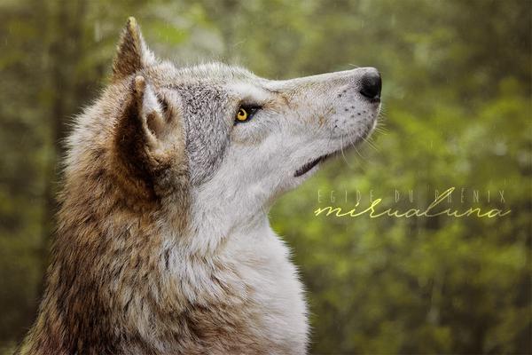 Mirualuna - Égide du Phénix [Solitaire - libre] 20217085a1
