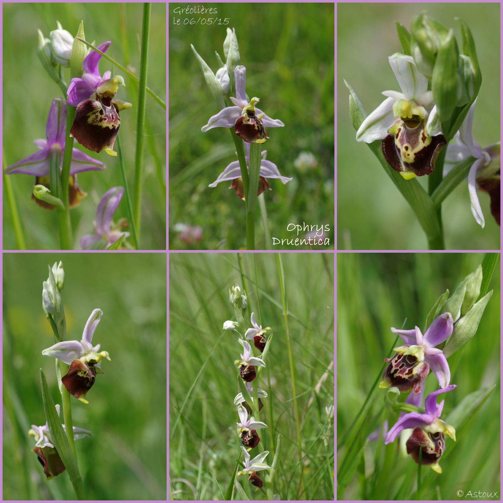 Ophrys druentica (Ophrys de la Durance) 203760SortieOrchides0605152