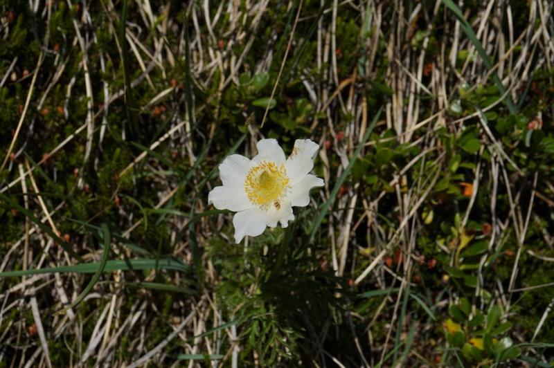 pas de carni mais de jolies plantes alpines ! 208131DSC03466