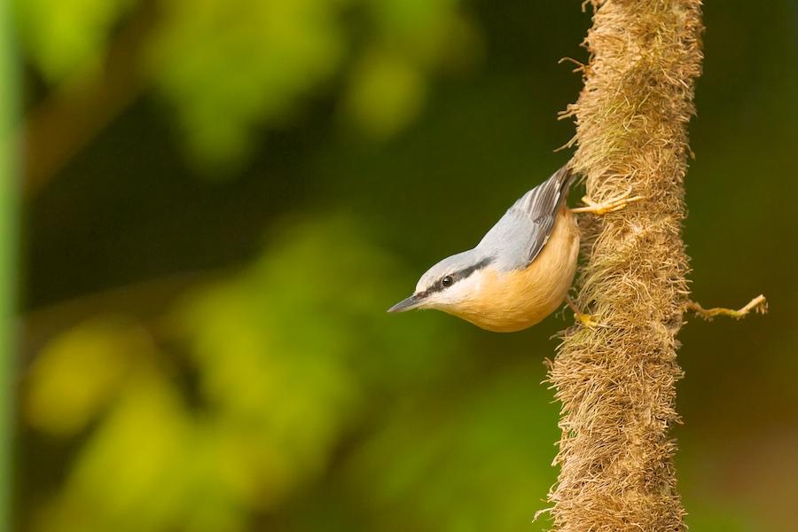 Oiseaux de mon jardin(Denis), 209222DSC3296