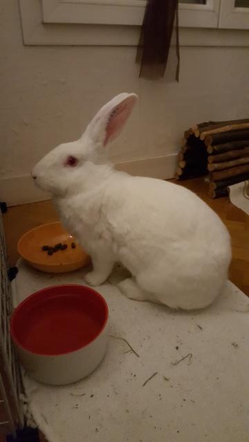 [ADOPTEE] Acacia, lapine de laboratoire à adopter 20940620160112234841