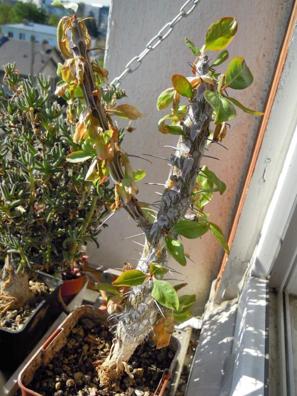 fraicheur et rayon de soleil sur les rebords de fenêtres... 209420fouquieria20