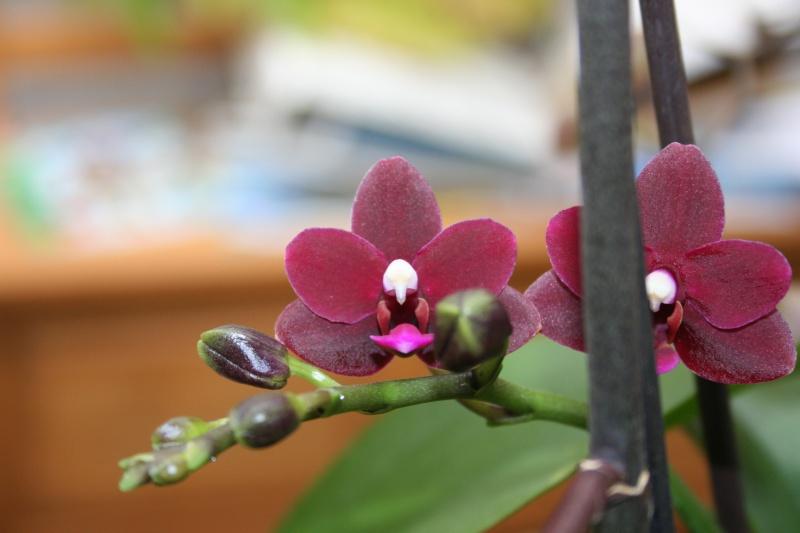 phalenopsis black pearl 211475IMG8812