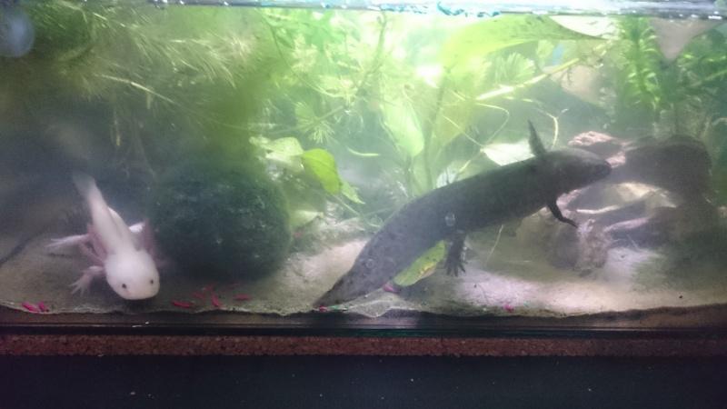 Mes petits monstres (Ambystoma mexicanum, alias Axolotl)  214078DSC0752