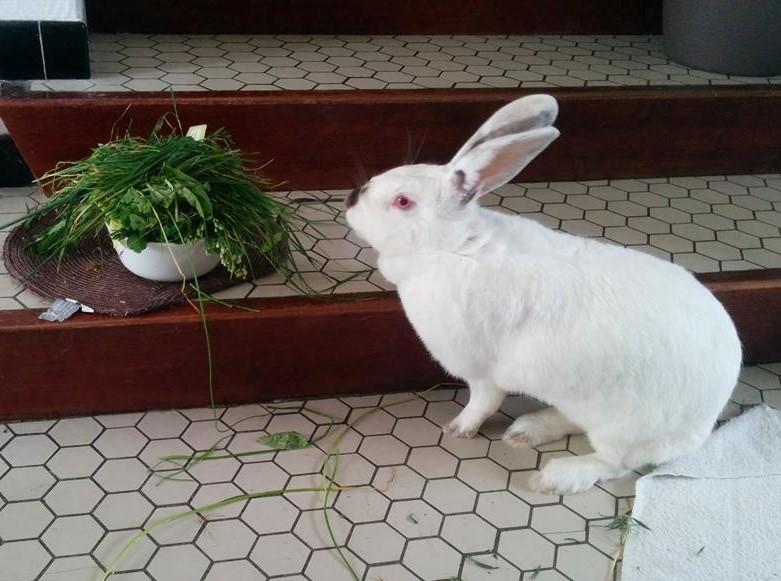Association White Rabbit- Réhabilitation des lapins de laboratoire - Page 2 214700122496118897437944510947014986572666222093n