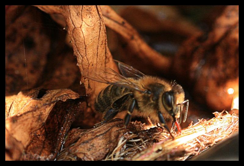 Les abeilles boivent-elles? 218788mange3
