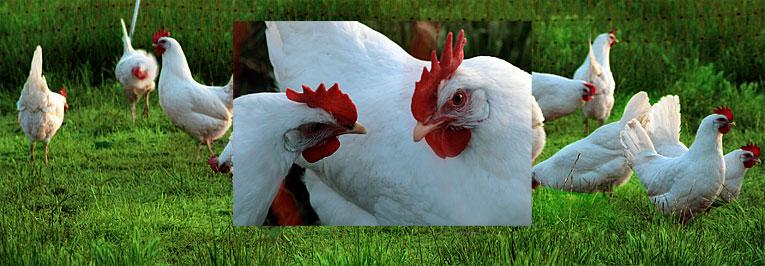 La Leghorn 220494chickens3
