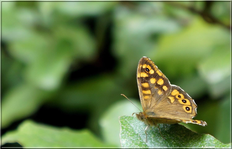 Fil ouvert - Proxi - Papillons 220776papillonjantou002
