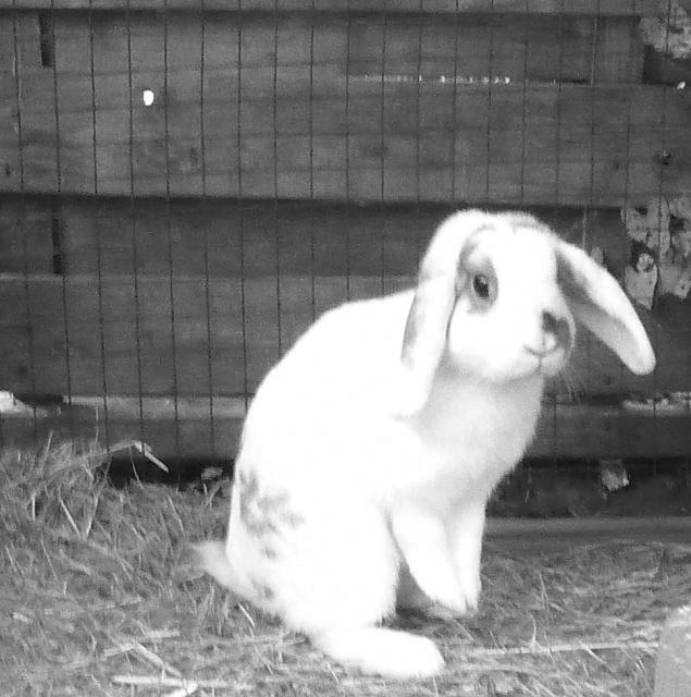 Nina, lapine bélier, née en aout 2011 - Page 7 223221P1140680