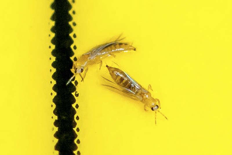 Gymnocalycium parasité 225920trips4