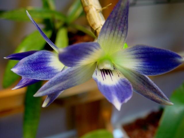 Discussion autour d'un genre : Les Dendrobium 226462DSC04308640x480