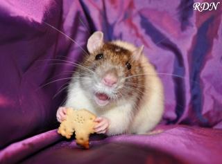 Généalogie des ratons 227438shanauc