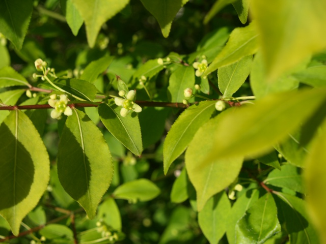 euonymus alatus compactus 227786P4303611