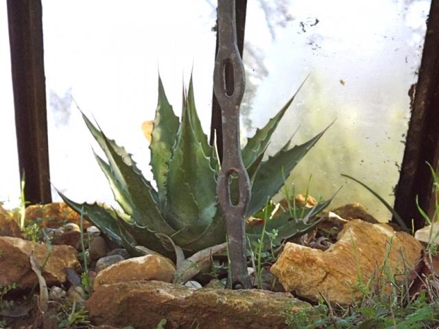 Agave montana  237572protectionagavemontana