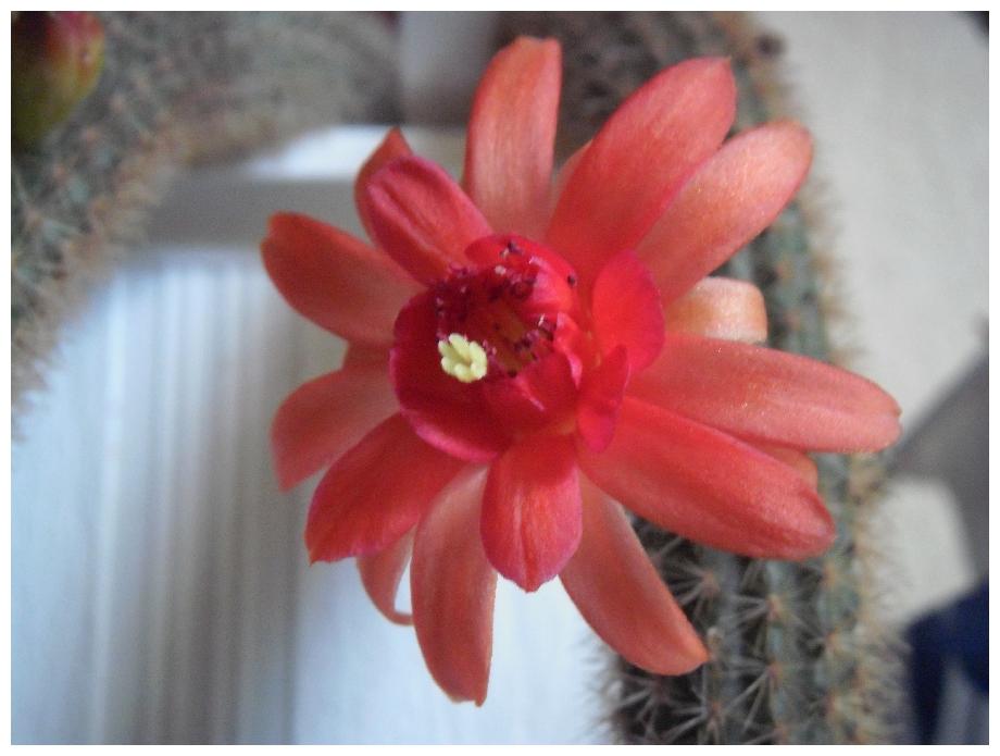 Floraisons Hildewintera ...  242562helmsneu1e