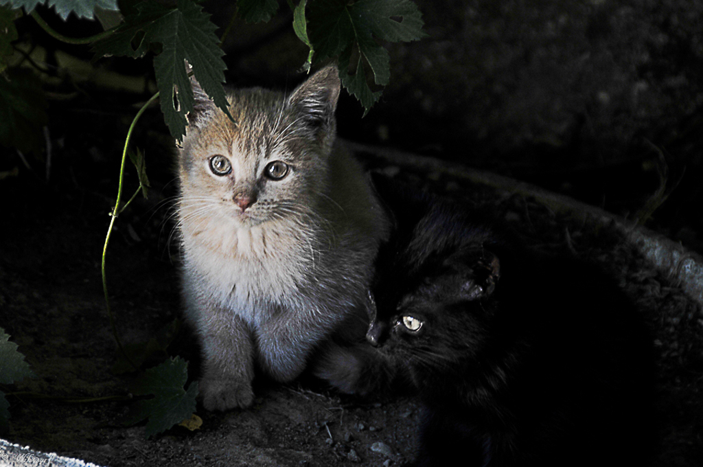 [fil ouvert] Les chats  244234DSC0736DxO