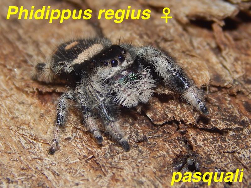 Phidippus regius... 246544RSCN4289