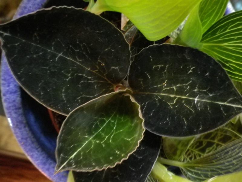 Mes quelques orchidées... 247562IMGP3878