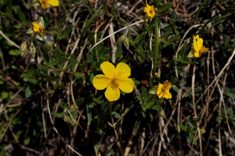 pas de carni mais de jolies plantes alpines ! 248100DSC03397