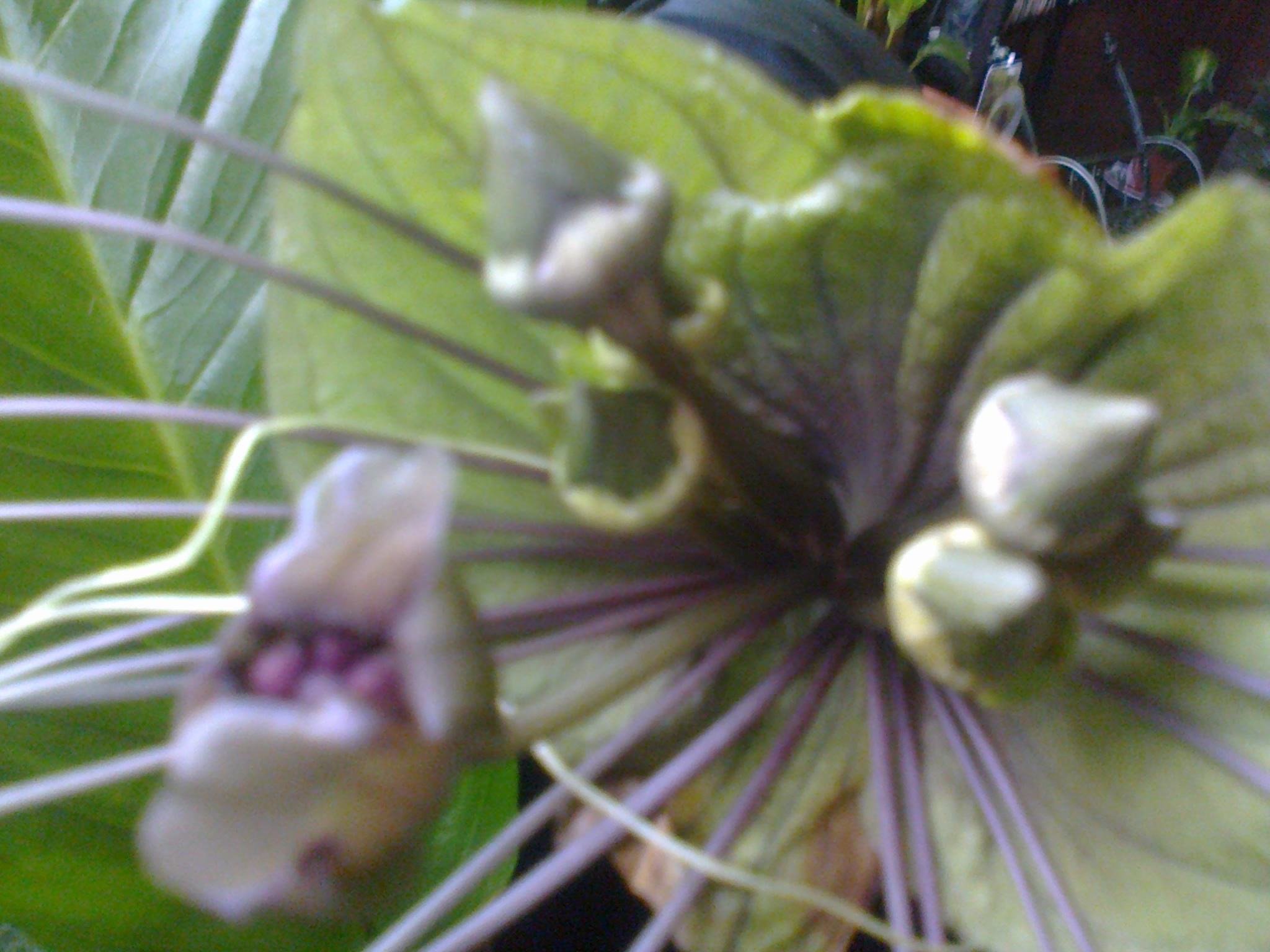tacca green - Page 2 263230Photo0069
