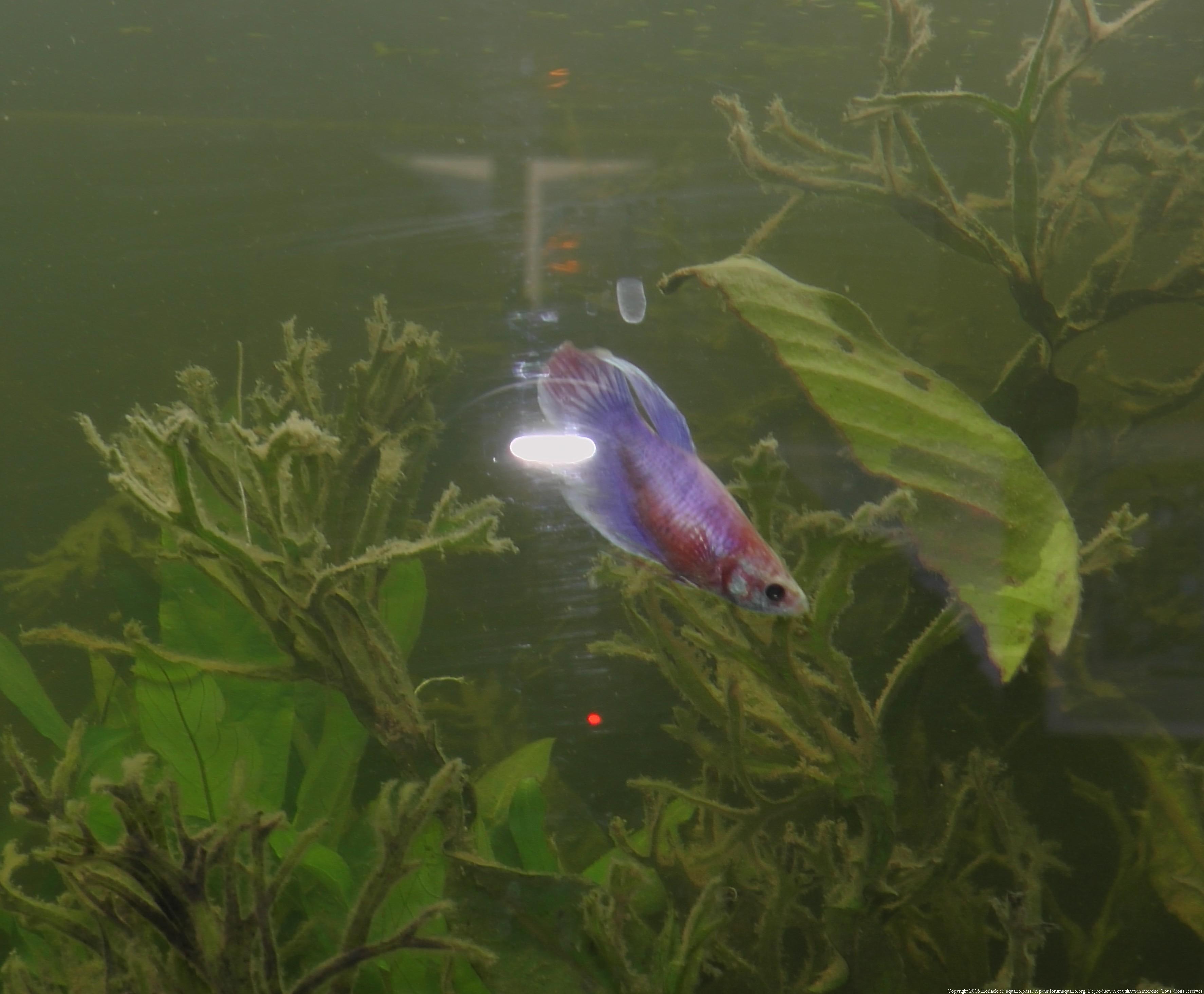 264777BettaFemelles0034 Impressionnant De Bulleur Pour Aquarium Des Idées
