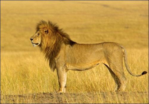 Khesiç - lion - altruiste 266759khesi