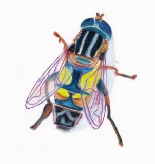 La mouche colorée  269597mouche201605020001
