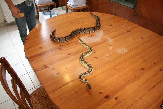 python regius pastel lesser et classique 269638IMG1118