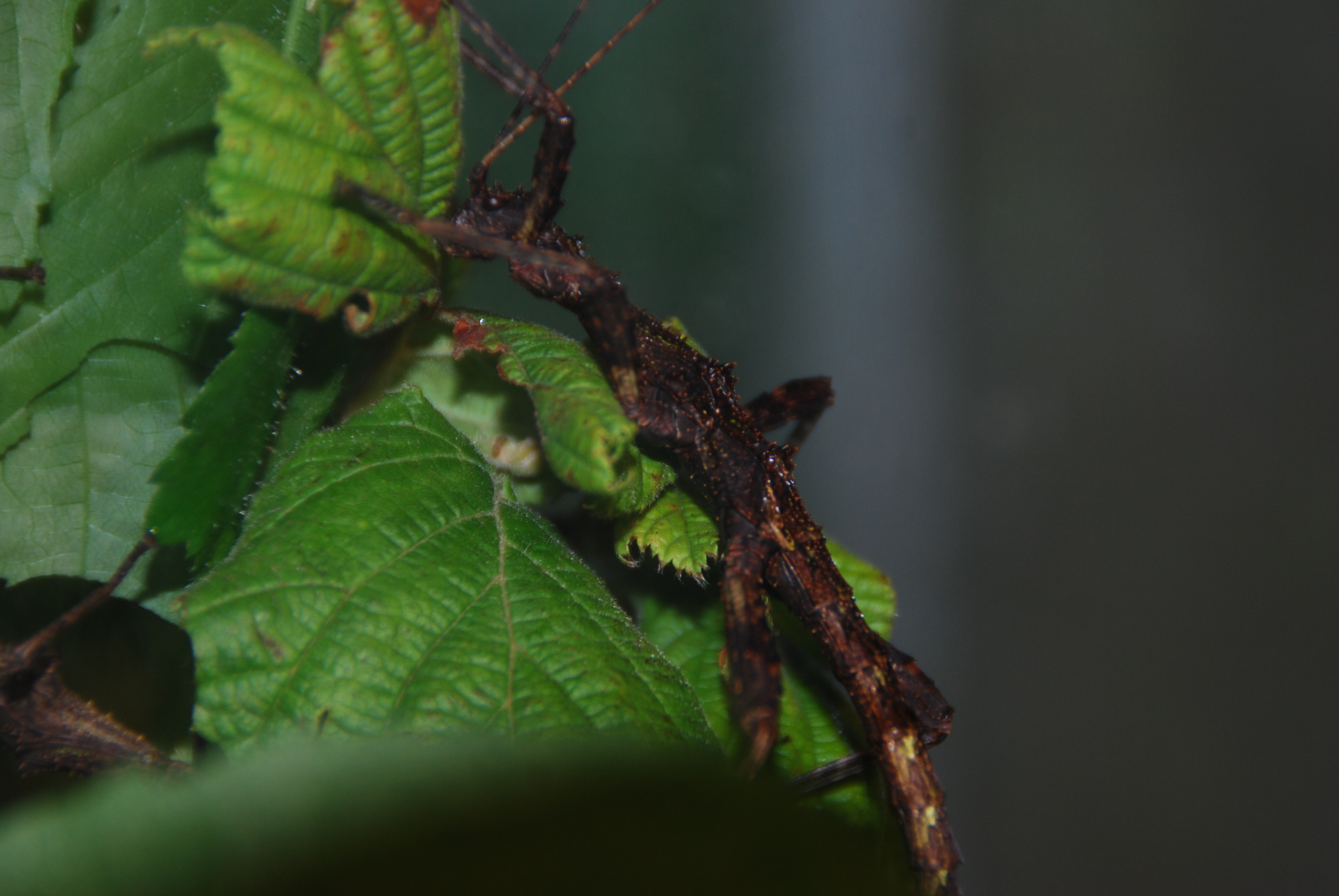 Aretaon asperrimus, Trachyaretaon brueckneri ou autre ??? 269719femelleforme