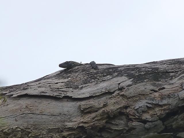 Varanus komodoensis ou le dragon de Komodo. 271042P1020645
