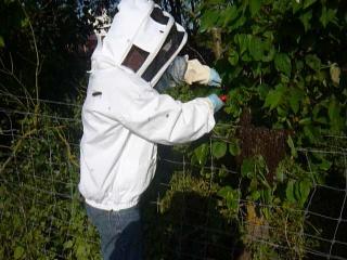 Les auxiliaires du jardinier : l'abeille noire (Apis mellifera mellifera) 271571P1020325