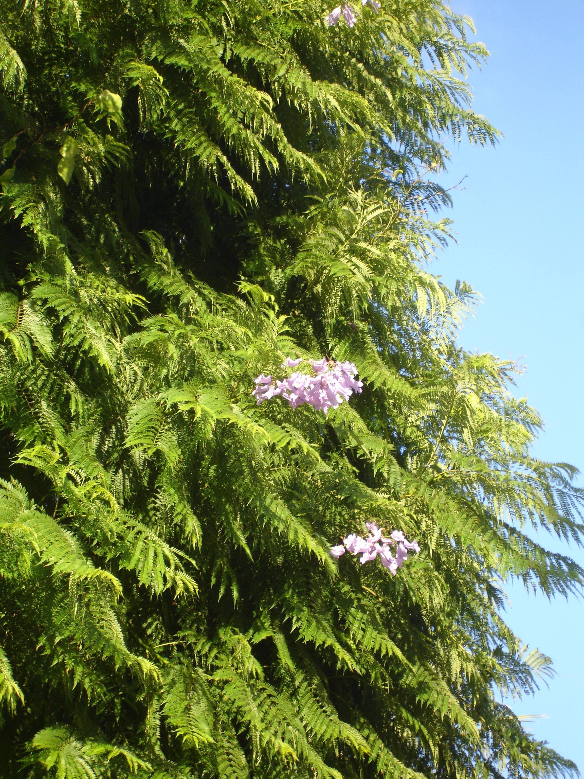 les jacarandas sont en fleur - Page 2 274444Jacarandamimosifoliadetailfleurs