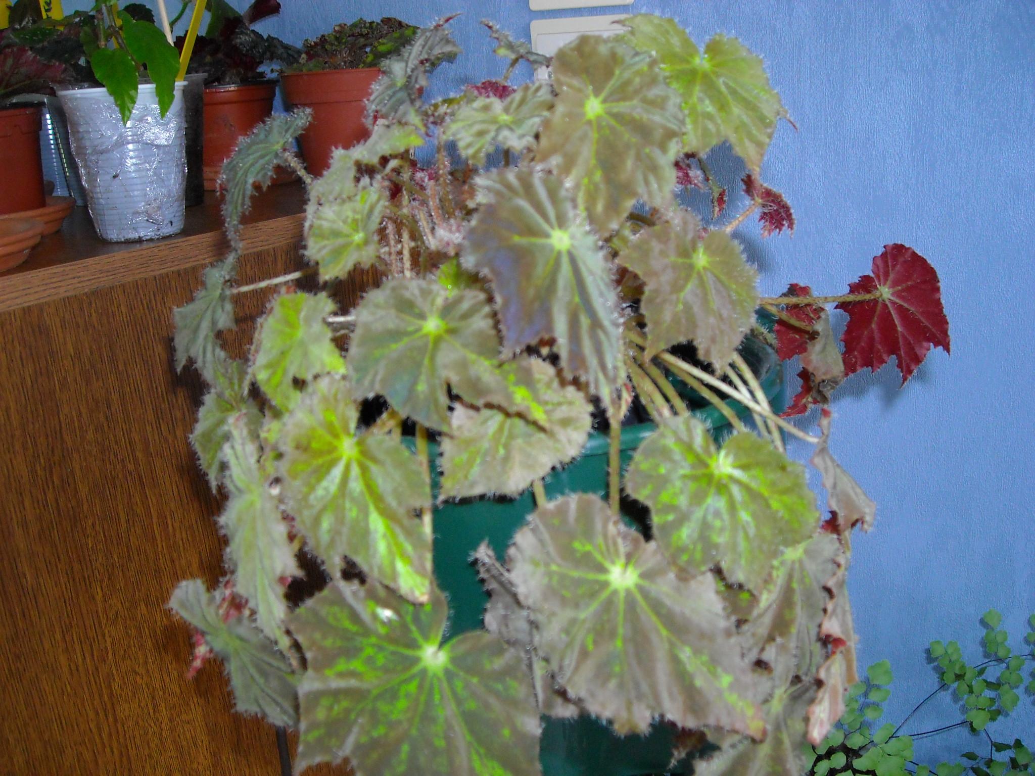 Begonia Baby Dress 276408bowerei001