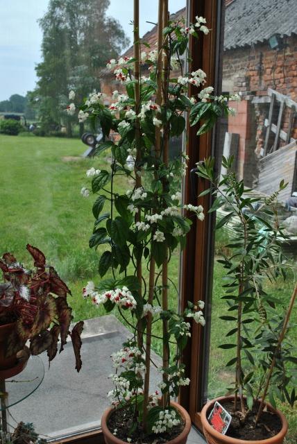 Mon clerodendrum en fleurs  276657DSC0699