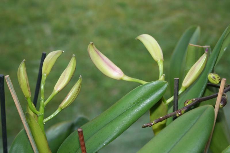 cattleya intermedia Laelia purpurata - Page 2 277294IMG8771
