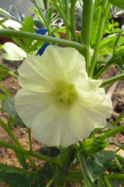 Voici mes quelques hibiscus en fleurs - Page 2 282973P1040417