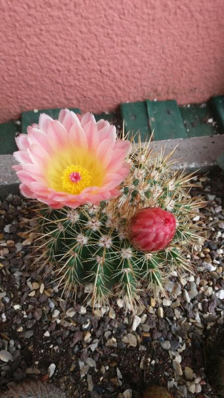 cactus de pô - Page 2 28388420160717180529