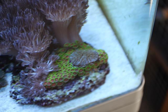 un corail au milieu des zozos 285503IMG2725