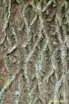 Partie Guérisseur : Les plantes de la Forêt 291389corcedesaule
