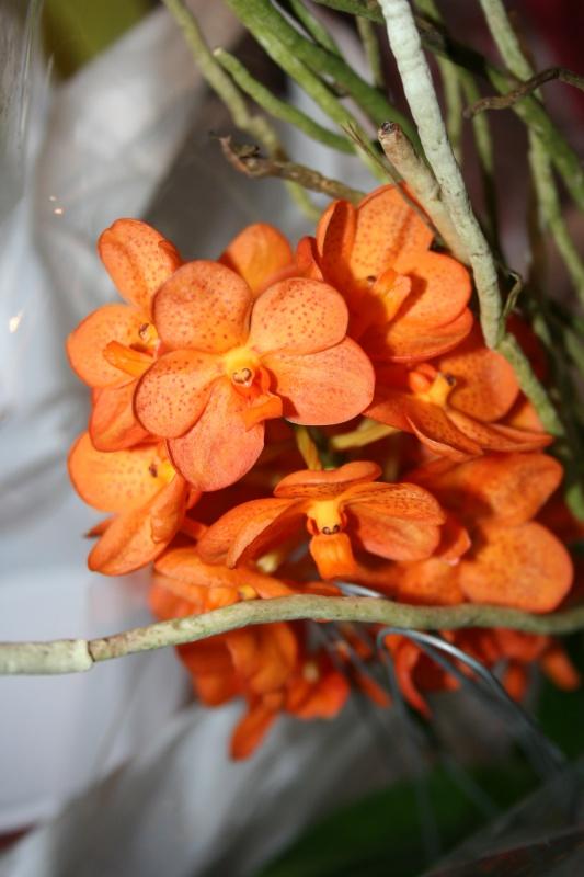 ascocenda orange spoti de mamie 291969IMG8709