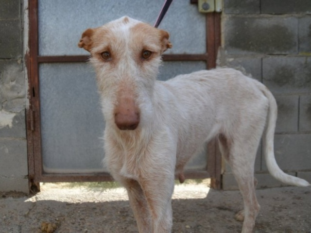 Blanca , Podenca de 2 ans  293356dsc0159