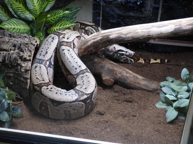 Boa constrictor amarali - Page 2 294269P1020596