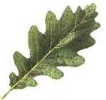 Partie Guérisseur : Les plantes de la Forêt 303087feuilledechne